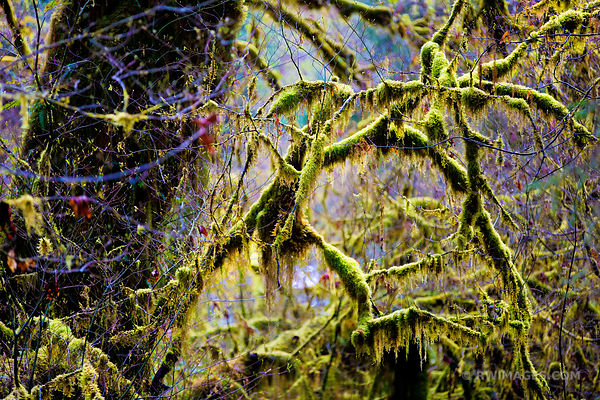 MOSS AND FERN COVERED TREES HOH RAIN FOREST OLYMPIC NATIONAL PARK WASHINGTON
