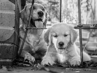 07/17-gold dogs in black and white photos