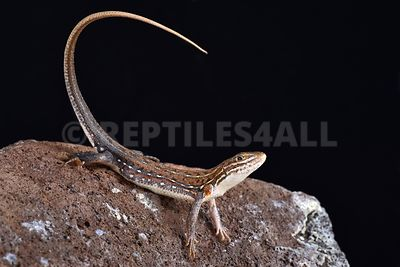 Ornate Sandveld Lizard (Nucras ornata) photos