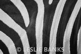 Real zebra stripes