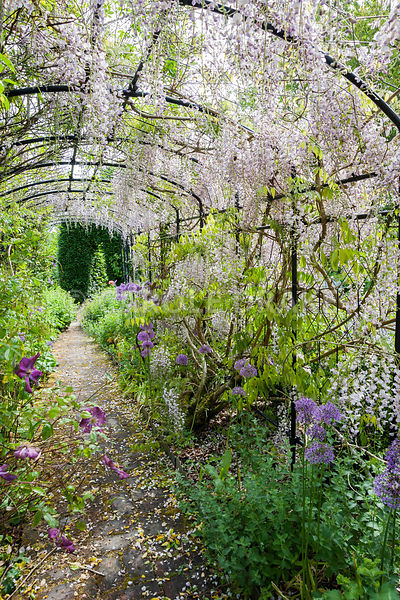 Wisteria clad pergola underplanted with alliums. Caervallack Farm, nr Helston, Cornwall, UK