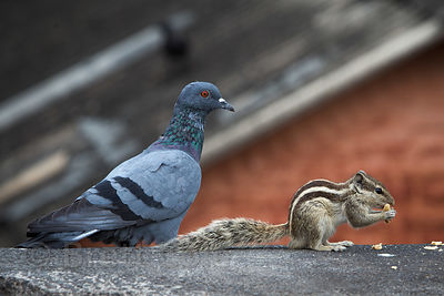A pigeon and a chipmunk eat breadcrumbs near the Delhi Railway Station, Delhi, India