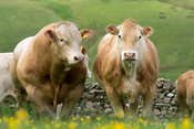 Herd of British Blonde cattle grazing in upland pasture, Cumbria, UK.