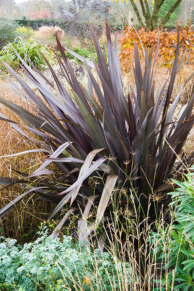 Autumn border with Phormium tenax 'All Black', grasses and glaucous Ruta graveolens 'Jackman's Blue'.