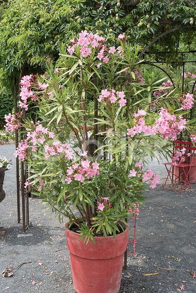 Photo de nerium oleander laurier rose en pot rose - Laurier tige en pot ...
