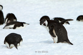 Chinstrap penguins walking on ice at the Antarctic Peninsula.