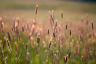 Summer grasses in the Willamette Valley, Oregon