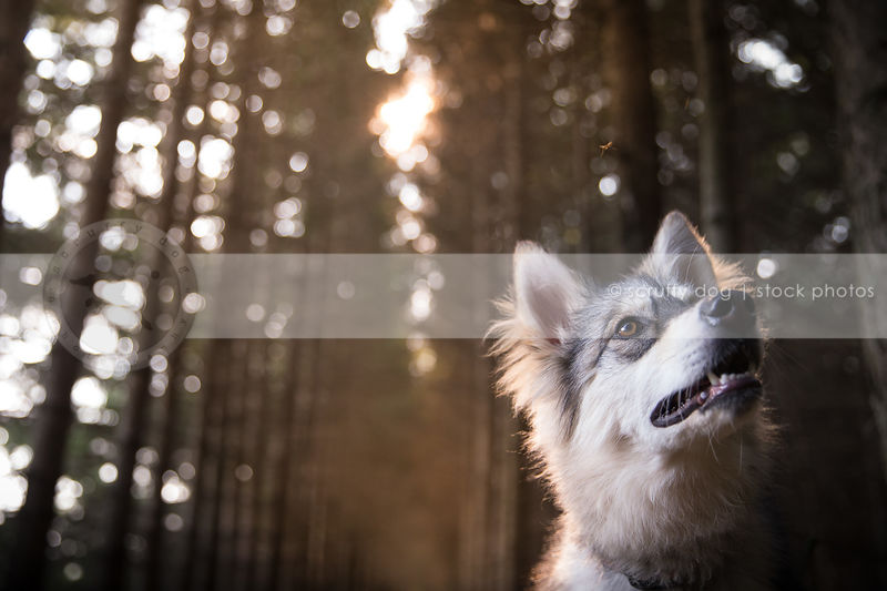 pretty husky mixed breed dog looking skyward in backlit forest