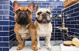 Two French Bulldogs Standing Next to Each Other in a Luxury Dog Bath