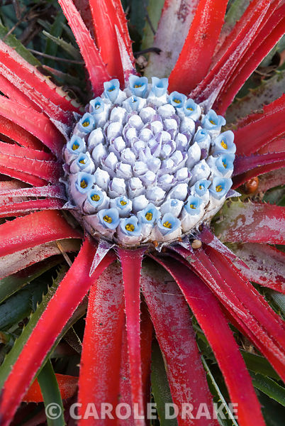 Blue inflorescence of Fascicularia bicolor. Hidden Valley Nursery, Old Souith Heale, High Bickington, north Devon, UK