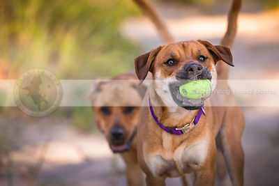 two tan mixed breed dogs playing keep away in natural setting