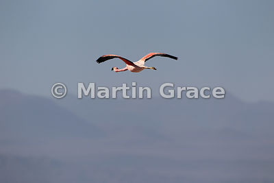Andean Flamingo (Phoenicoparrus andinus) in flight, Sector Soncor of the Reserva Nacional los Flamencos, Atacama