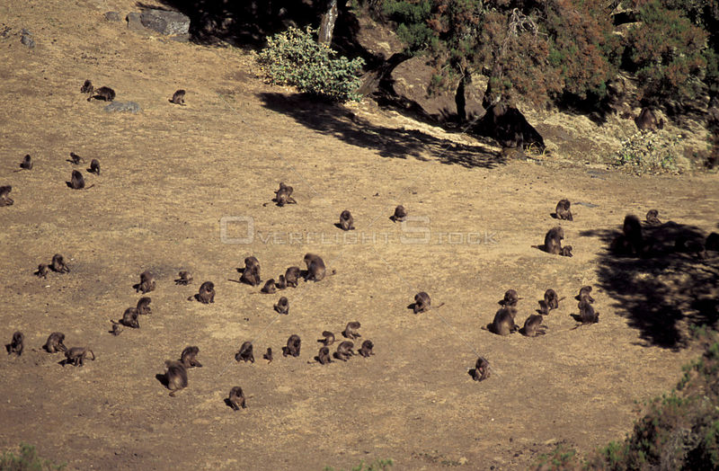 Looking down on troop of Gelada baboons feeding {Theropithecus gelada} Simien mtn NP, Ethiopia
