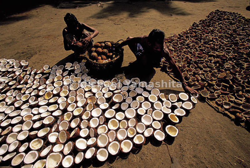 Coconuts are split open to dry and be preserved due to their status of being a delicacy.