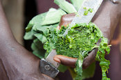 Cutting greens into slices to make a meal, Kenya.