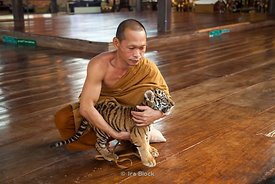 Tiger and a monk at the Tiger Temple in Kanchanaburi, Thailand.