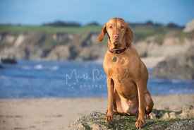 Vizsla Dog Sitting on Rock with beach and cliffs in the background