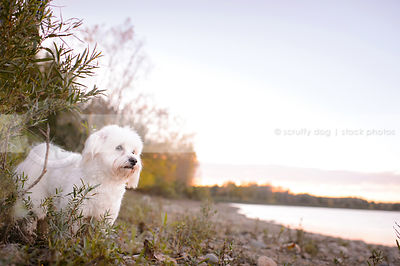 small white groomed dog standing on beach