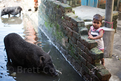 Toddler and large pig in monsoon flood waters, Salkia, Howrah, India