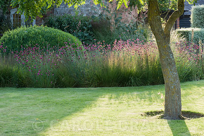 The Courtyard Garden designed by Piet Oudolf and John Coke features deciduous Koelreuteria paniculata, here framing clipped box surrounded by a bed of grasses mixed with pink Dianthus carthusianorum. Bury Court Barn, Bentley, Hants, UK