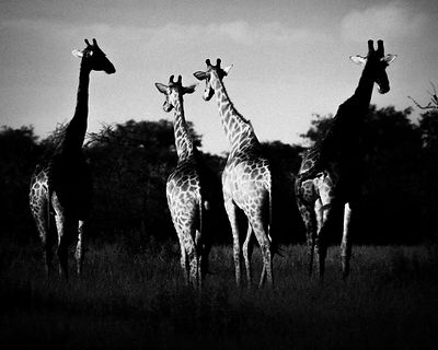 0078-Play_of_contrasts_with_the_giraffes_Laurent_Baheux