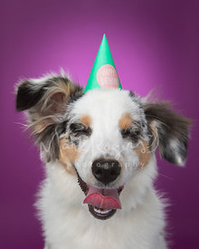 Miniature Australian Shepherd Puppy in Party Hat Against Purple Studio Background