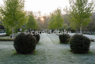 Clipped yew spheres, white stemmed birches and beds of miscanthus in the formal garden at Heale House, Middle Woodford, Wiltshire on a frosty April morning