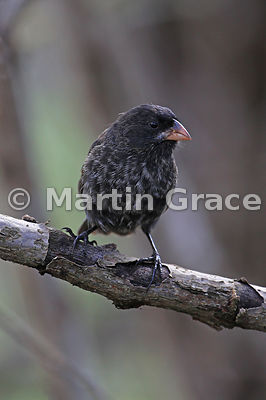 Large Tree Finch female (Camarhynchus psittacula), Santa Cruz, Galapagos Islands