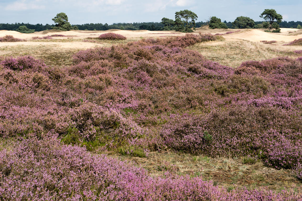 When the heather flowers, the Veluwe turns pink
