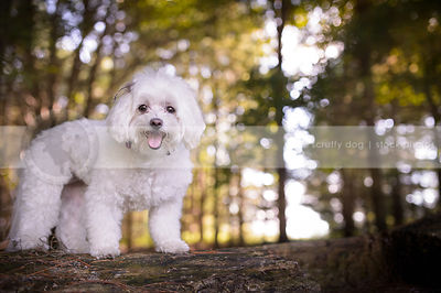 small white happy dog standing on log in backlit forest