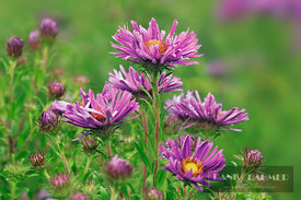 New york aster (aster novi-belgii)  - Europe, Germany, Bavaria, Upper Bavaria, Munich - digital