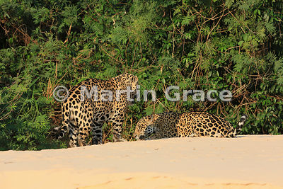 Female Jaguar 'Hunter' (Panthera onca) (right) lies down inviting 'Hero' to mount her, Three Brothers River, Northern Pantanal, Mato Grosso, Brazil. Image 38 of 62; elapsed time 49mins
