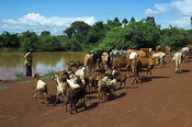 herdsman drives native cows and goats on dusty road Kenya Africa near to a watering hole