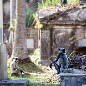 Langur monkeys amongst the tombs and graves in the French cemetery in Chandannagar
