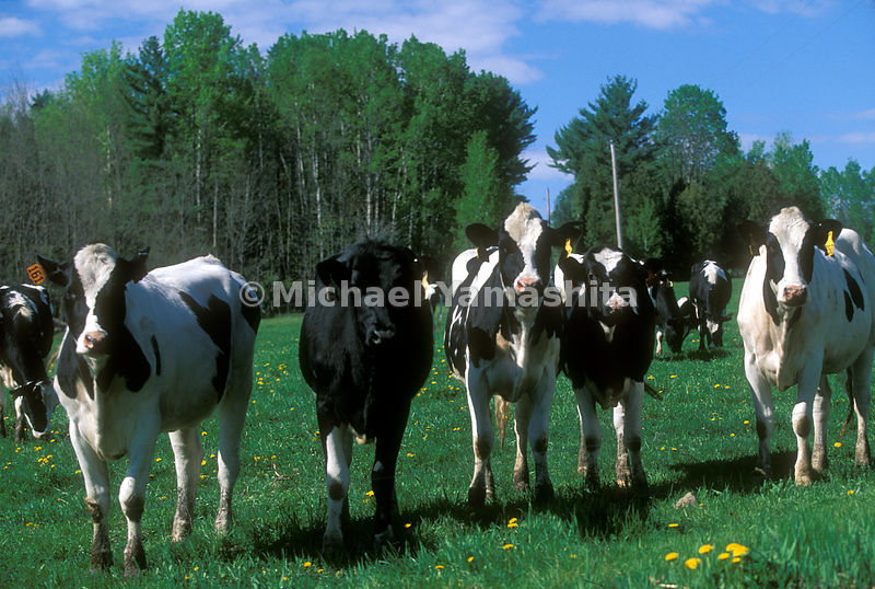 Cows in a field in Peacham, Vermont.