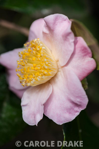 Camellia japonica 'Furo-an'. Sir Harold Hillier Gardens, Ampfield, Romsey, Hants, UK