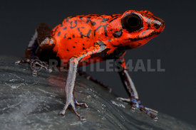 Oophaga pumilio,Red strawberry frog, Panama