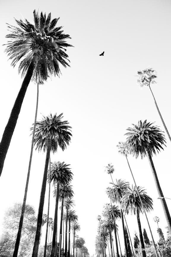 PALM TREES LOS ANGELES CALIFORNIA BLACK AND WHITE VERTICAL
