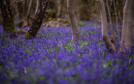 Bluebell_2016_April_059