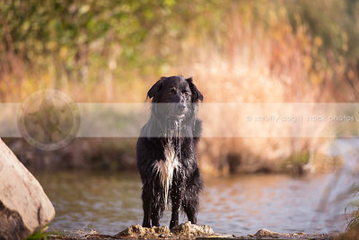 soaked longhaired dog dripping standing on riverbank