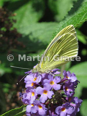 Small White butterfly (Pieris rapae) feeding on a garden Buddleia (Buddleja) davidii, Cumbria, England