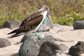 blue_footed_booby_scratch