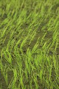 Close up of seedling Rice crop in paddy field, Mbale, Uganda Africa