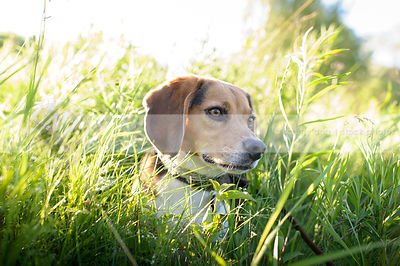 headshot of beagle dog in summer grasses and sunshine