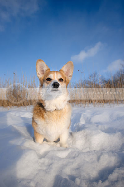 red and white corgi dog sitting in snow under sky