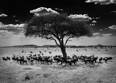 2779-Wildebeests_under_an_acacia_tree_Laurent_Baheux