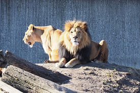 The Lion Couple