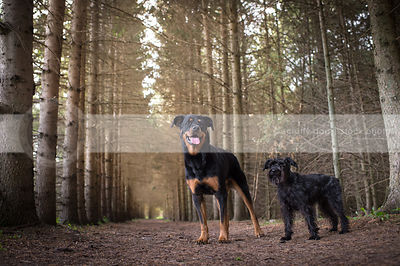 two dogs standing in forest of pines