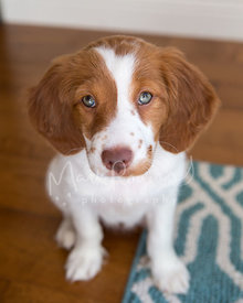 Spaniel puppy with blue eyes  close-up taken from above