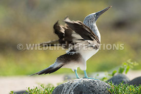 blue_footed_booby_north_seymour-22